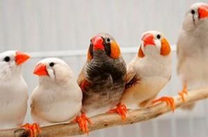 تاريخ العصافير