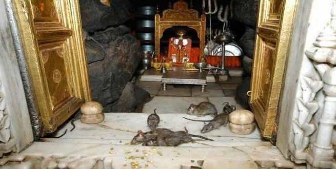 شاهد بالفيديو| الفئران المقدسة!